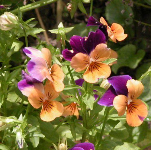 Pansy (Viola x wittrockiana cultivars)