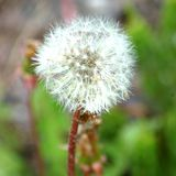 Photo showing what the seeds of dandelions look like.