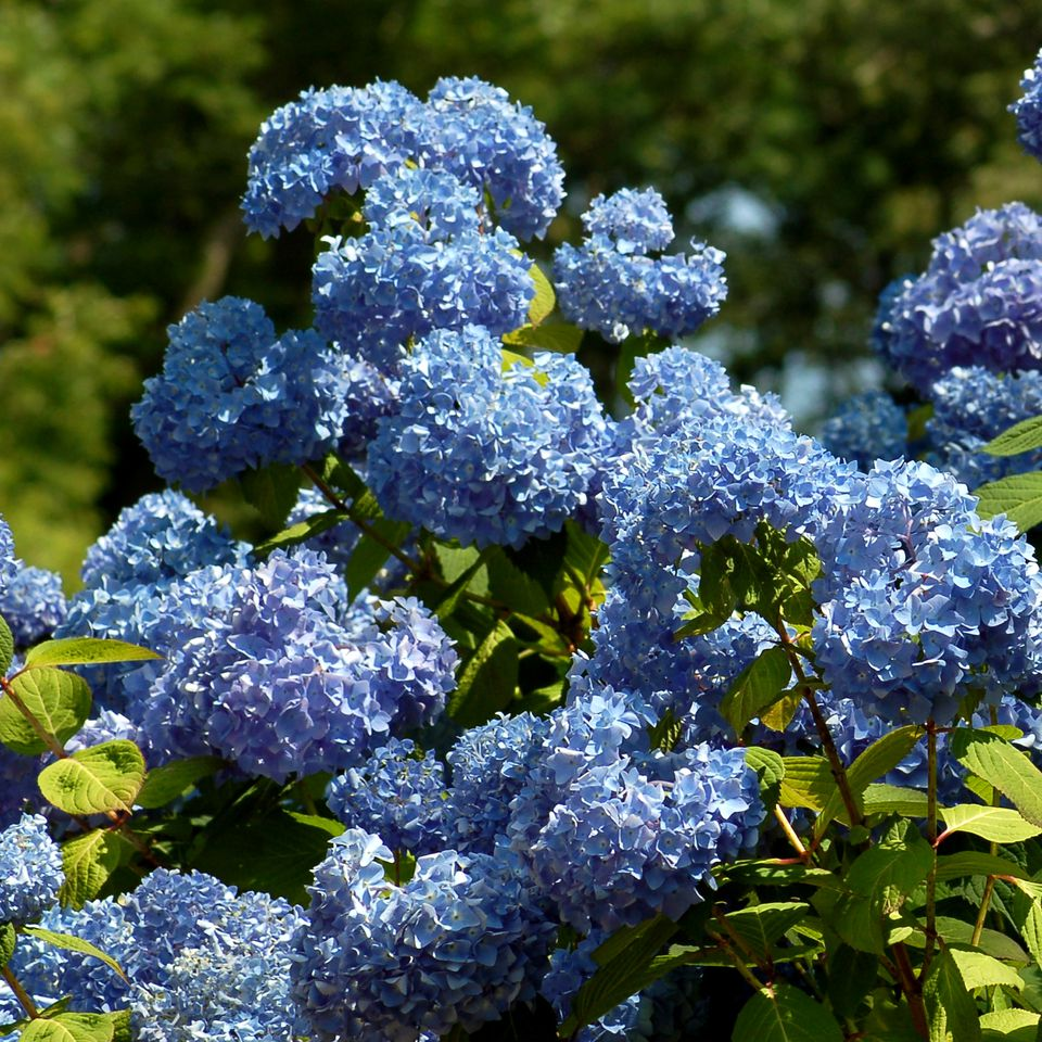 Like blue flowers? Then you must adore hydrangeas such as those in this picture.