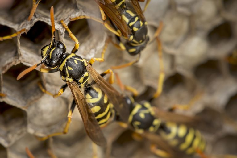 Paper wasps on a nest.