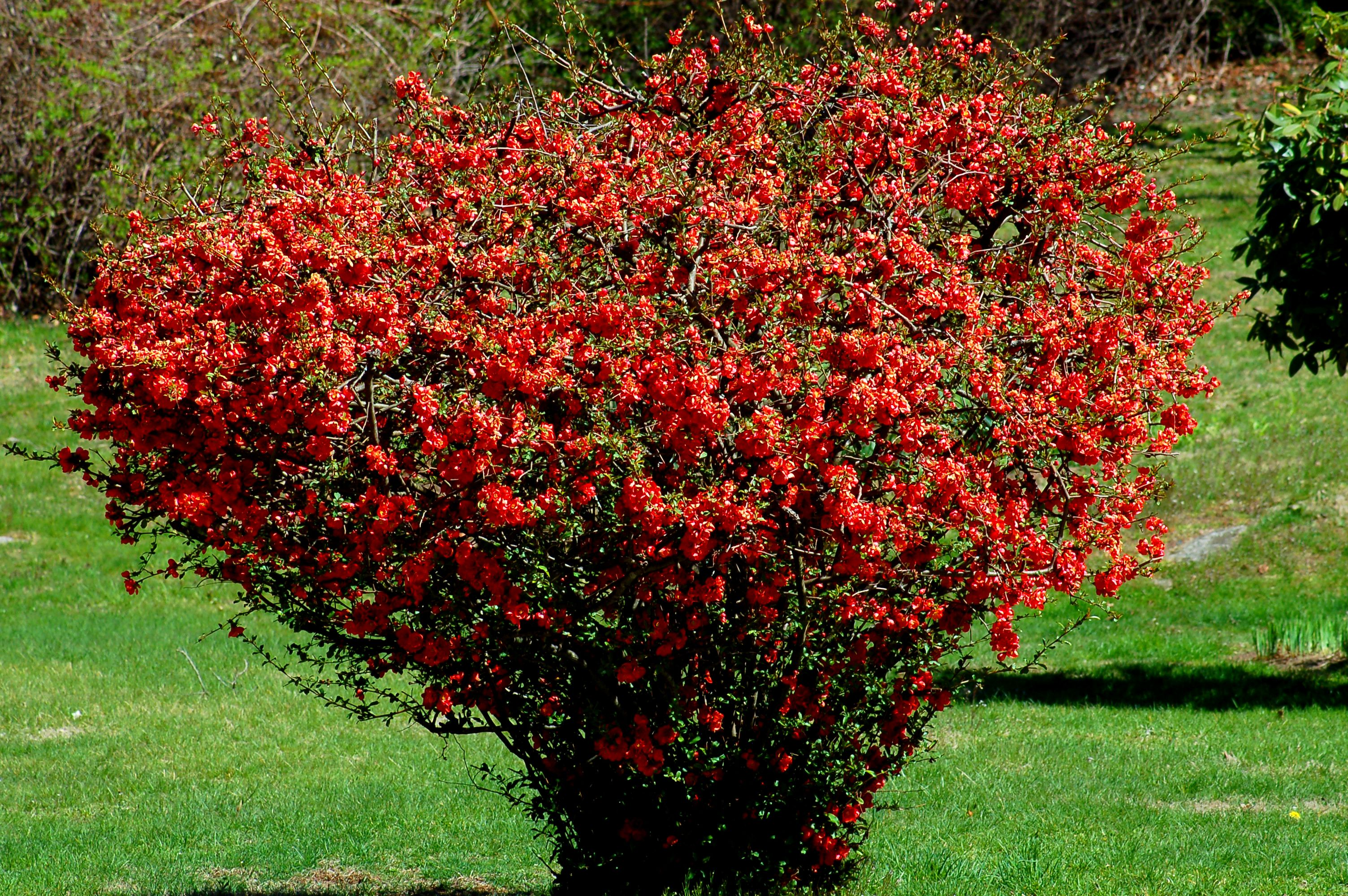 Flowering quince shrubs landscaping species for Best small bushes for landscaping