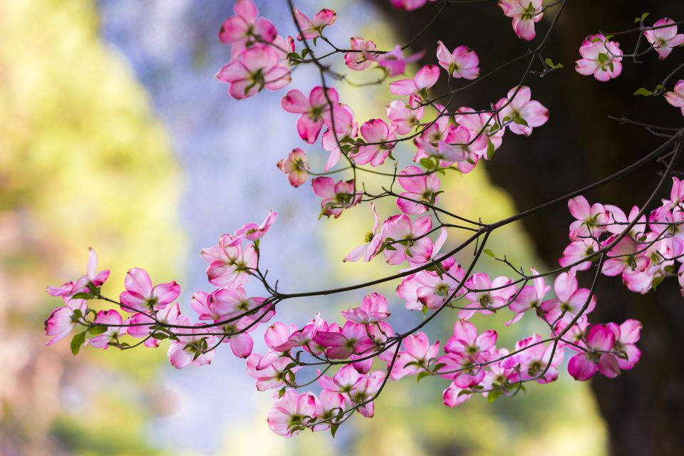 Pink flowering dogwood tree branch with blooms.