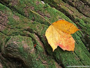 Picture of a yellow leaf on a green tree trunk