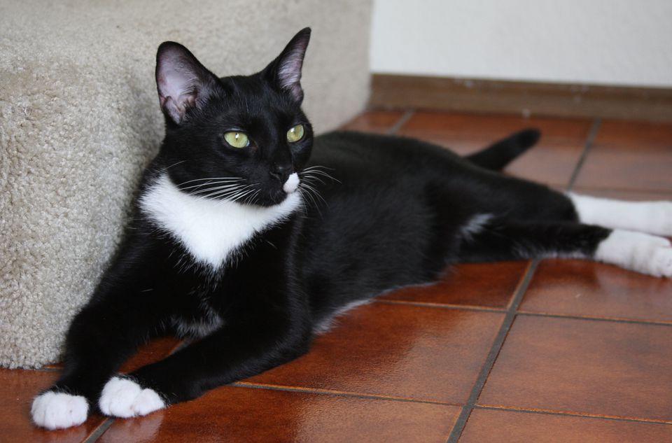 Tuxedo cat sitting on tile floor
