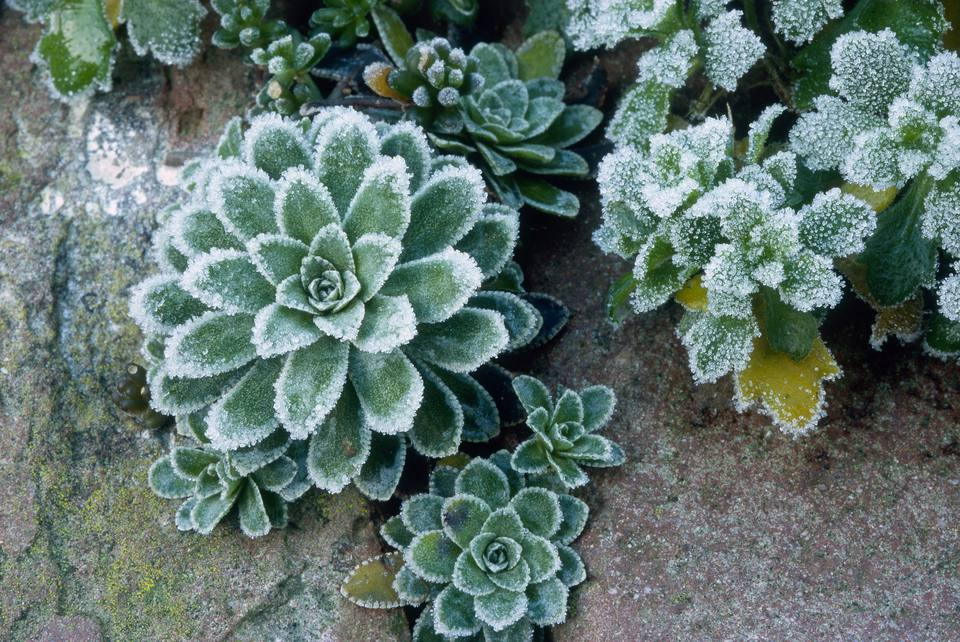 Frost covered common houseleek (Sempervivum tectorum)