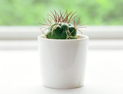 your guide to growing healthy indoor cactus plants - White Flowering House Plants