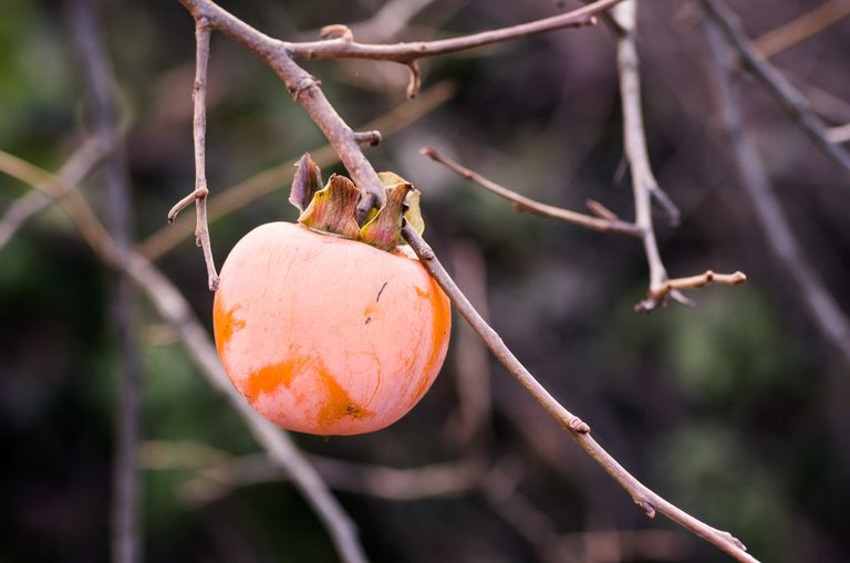 Fuyu Persimmon on Tree