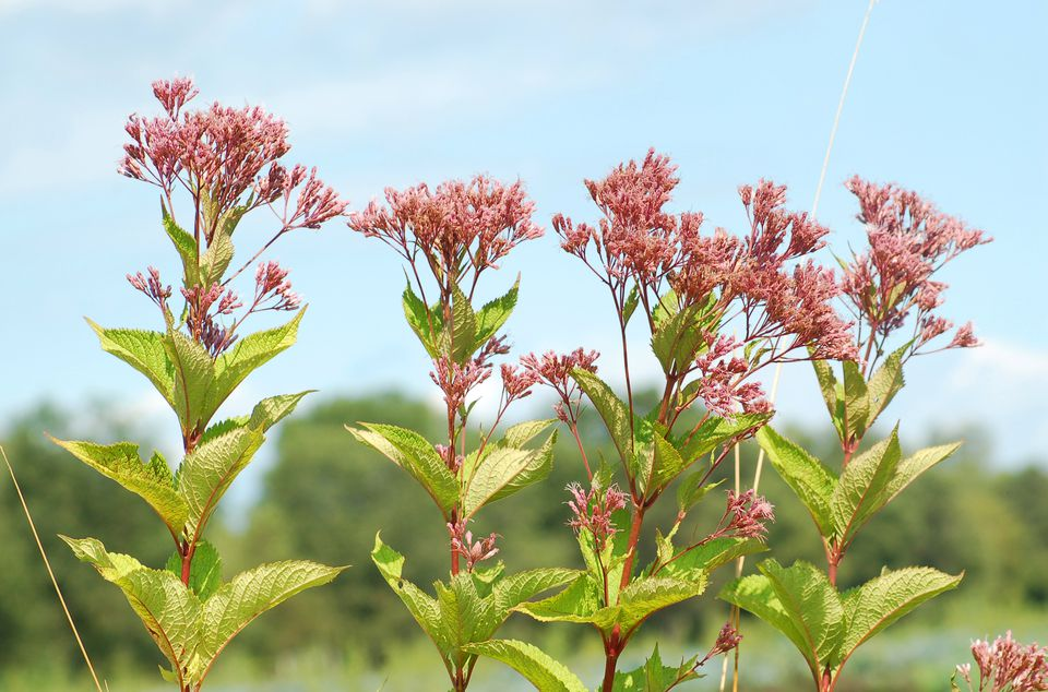 Joe-pye weed (image) is a tall, slim weed. But some use it in the garden.