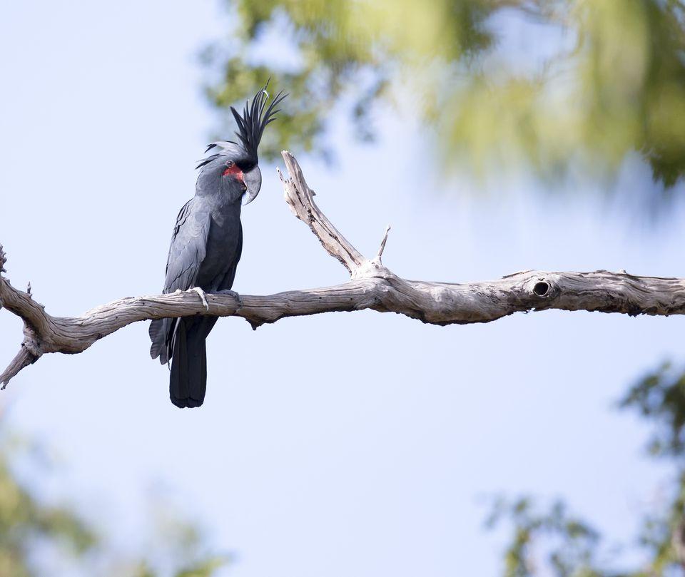 Black Palm Cockatoos