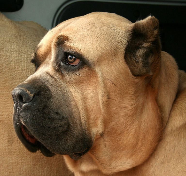 El enorme cane corso