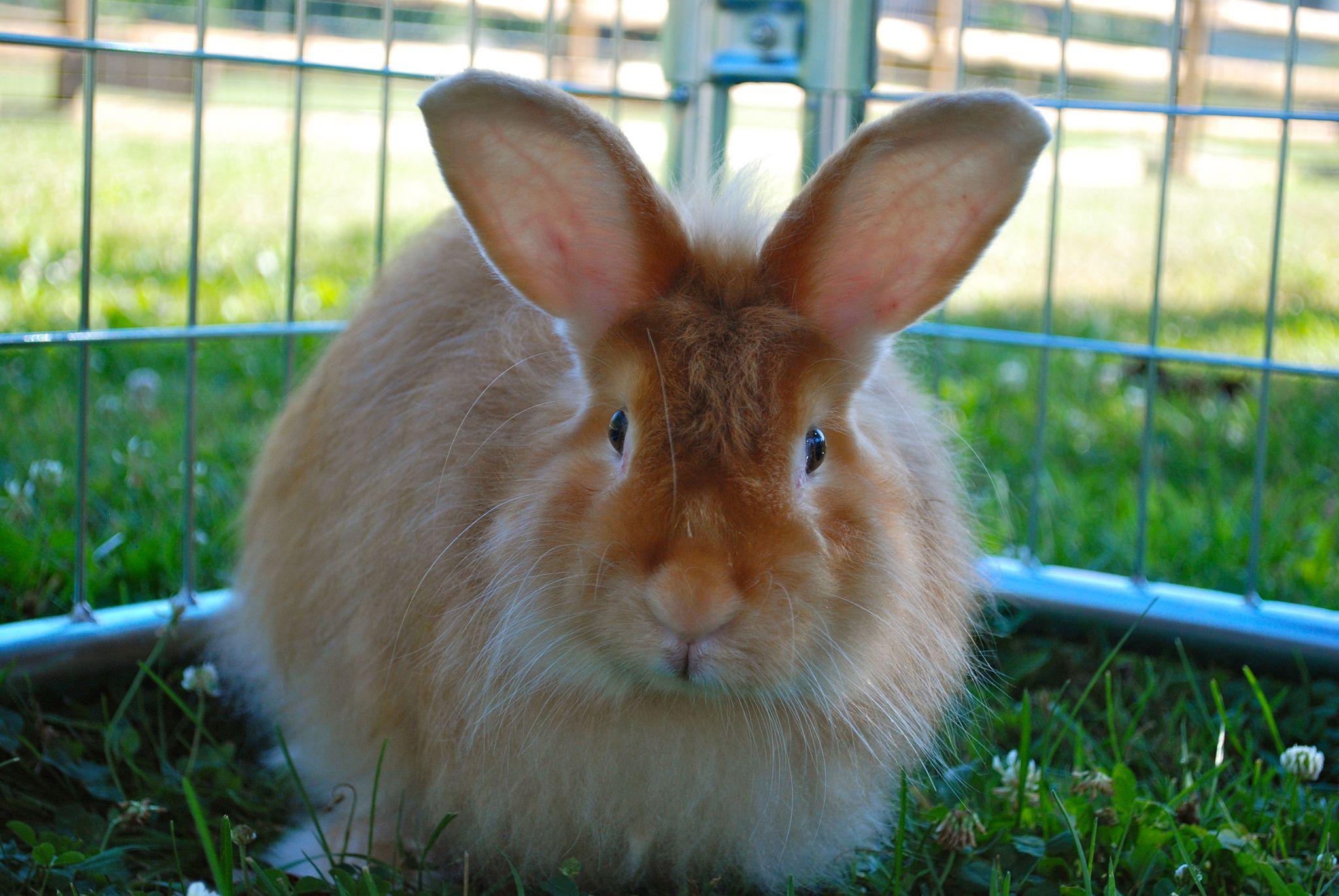 Raising Angora Rabbits For Wool