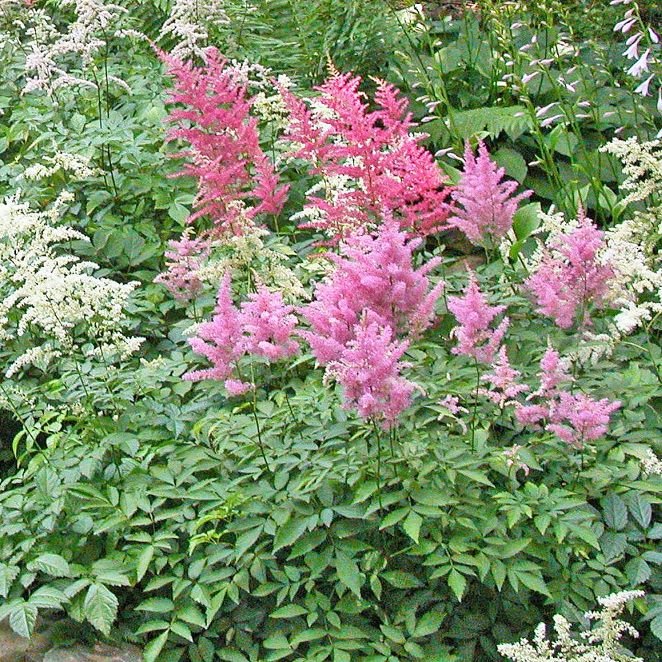 A cluster of Astilbes