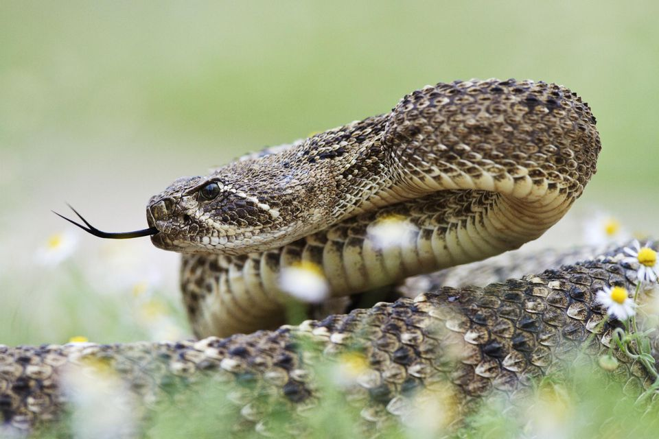 Western Diamond Backed Rattlesnake