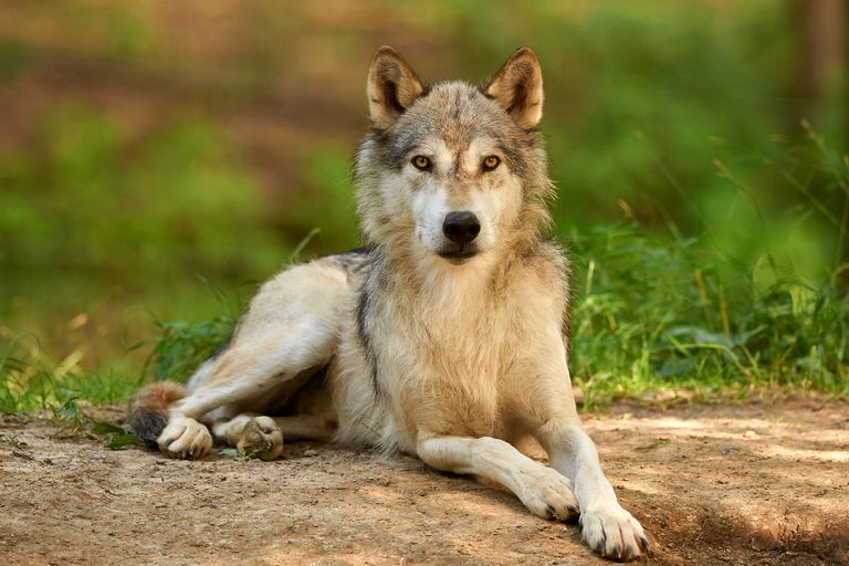 Picture of a grey wolf, a species of canid.