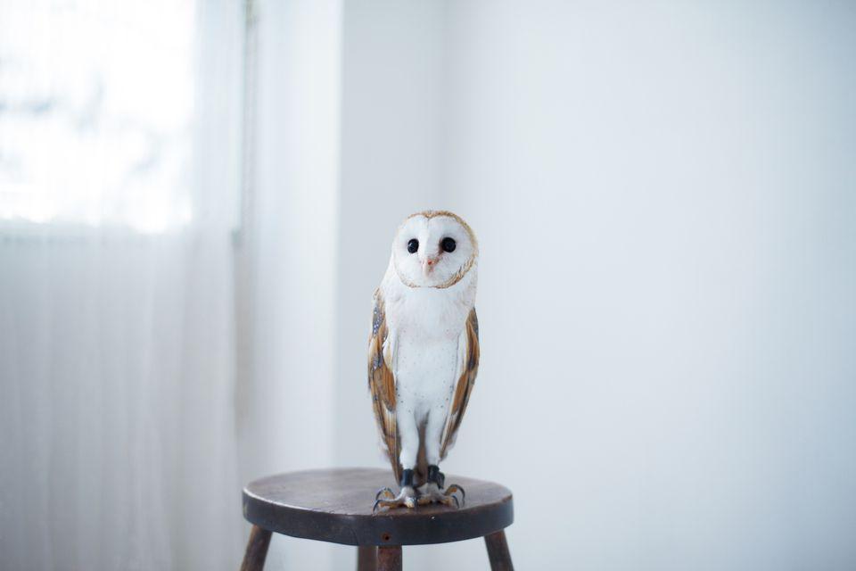 owl, bird, pet