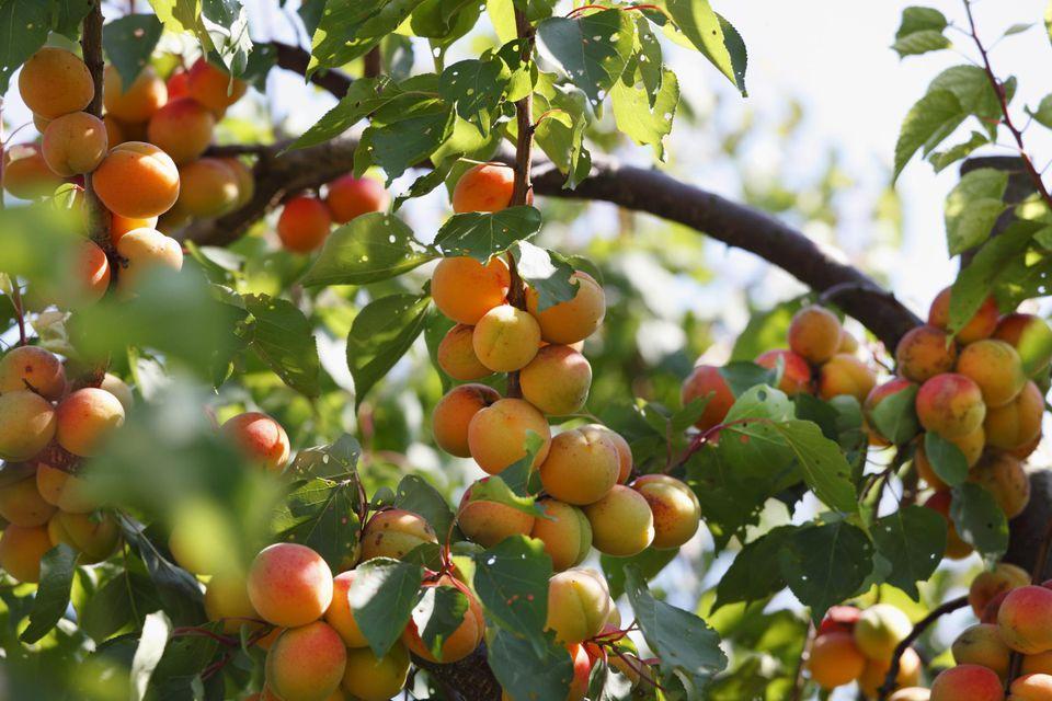 Ripe apricot on apricot tree (Prunus armeniaca), Wachau, Waldviertel, Lower Austria, Austria, Europe