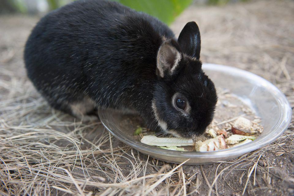 Pet rabbit eating