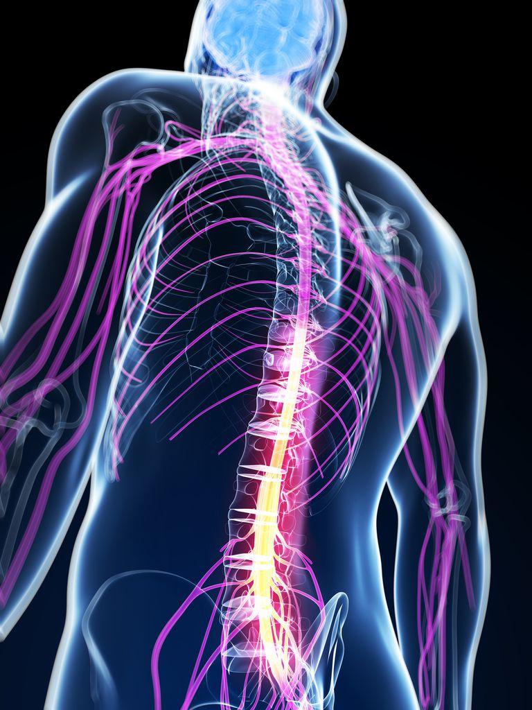 Human spinal cord, artwork
