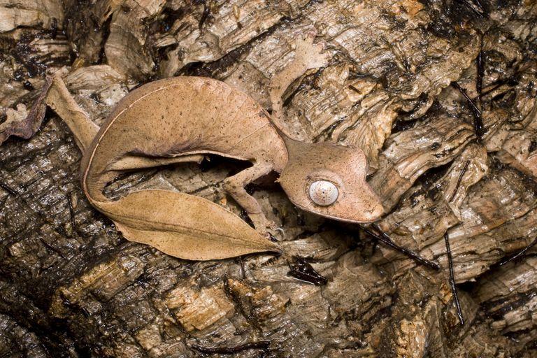 Close-up photo of satanic leaf-tailed gecko.