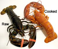 live raw lobster cooked shellfish seafood