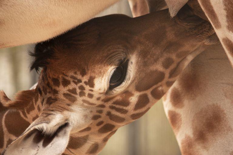 A giraffe calf nursing