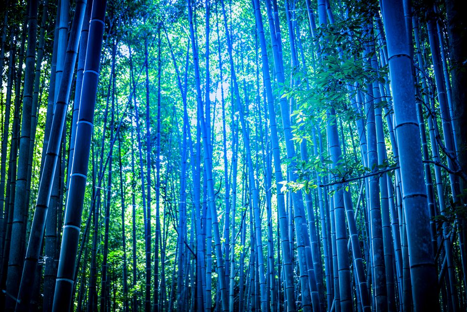 Forest of blue bamboo plants.