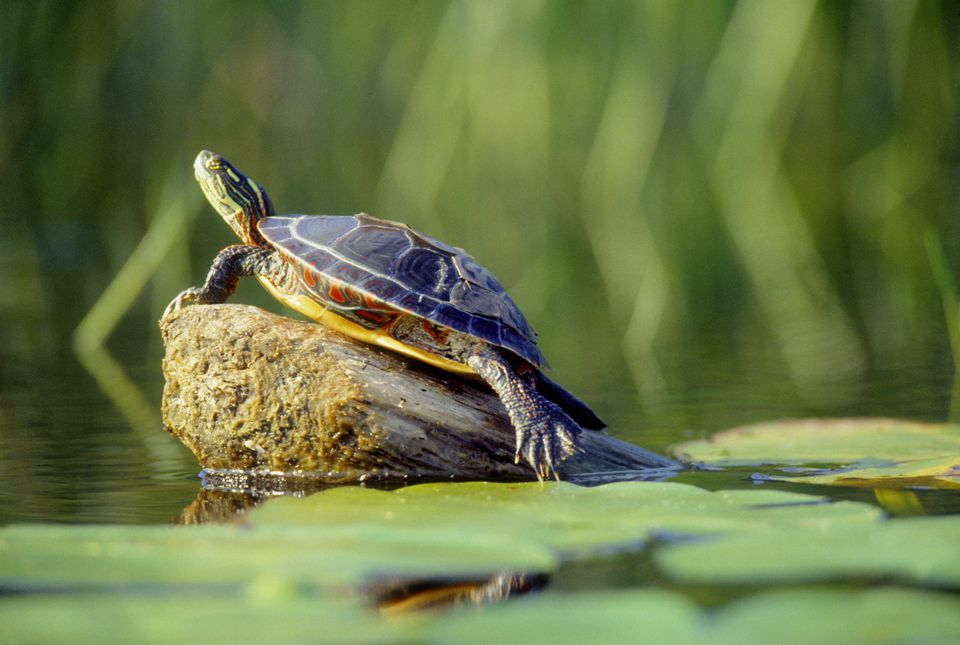 keeping pet aquatic turtles in outdoor ponds