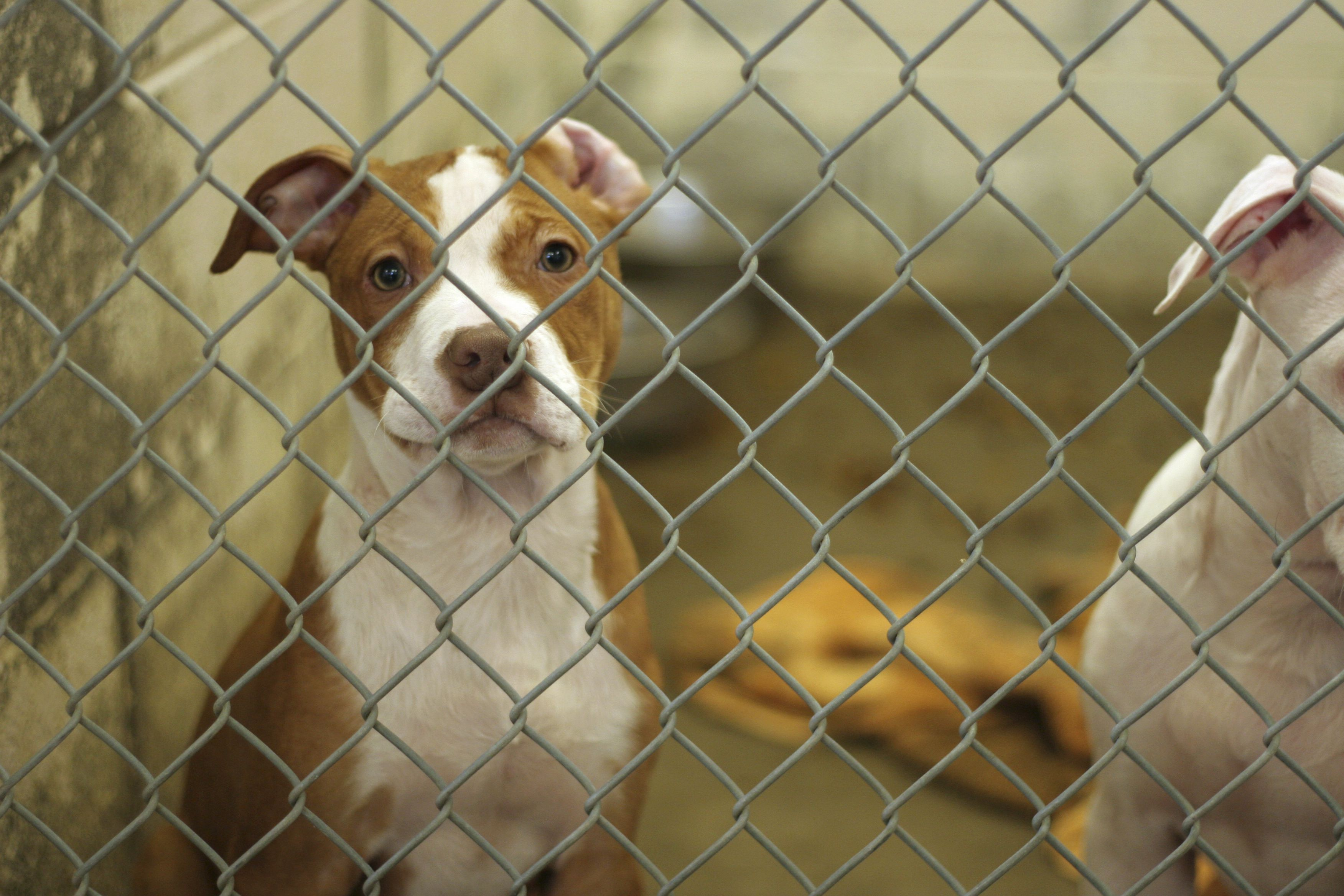Dog Adoption from an Animal Shelter or Rescue Group
