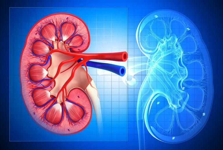 Healthy kidney, artwork