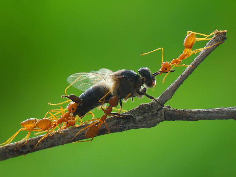 Ants working together to capture their prey.