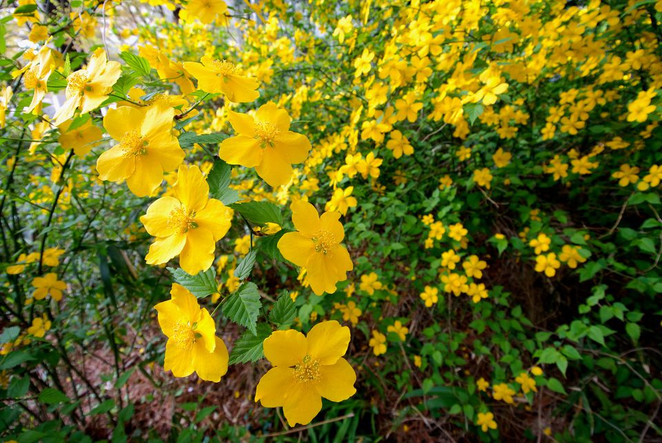 Kerria shrub
