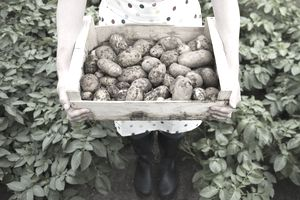 A woman with potatoes in a vegetable garden