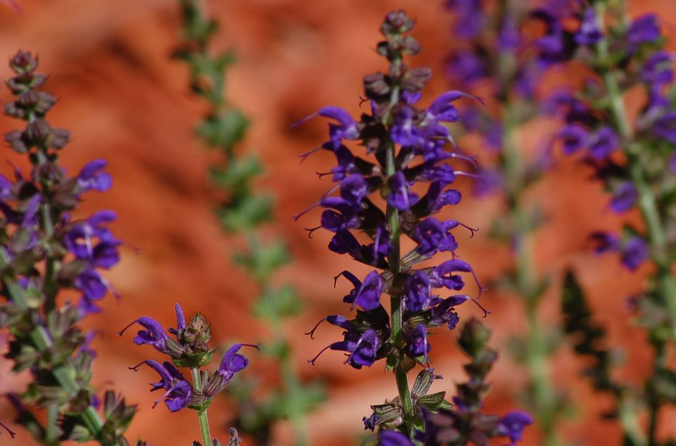 Image: 'May Night' salvia is so called for its dark flowers.