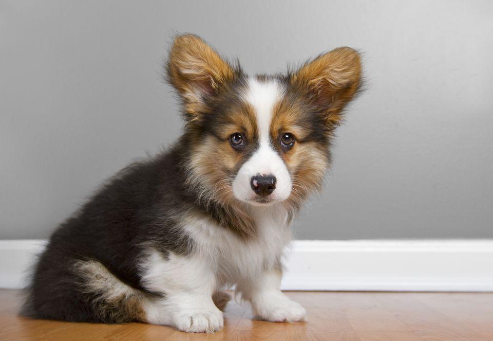 Portrait of fluffy pembroke Corgi