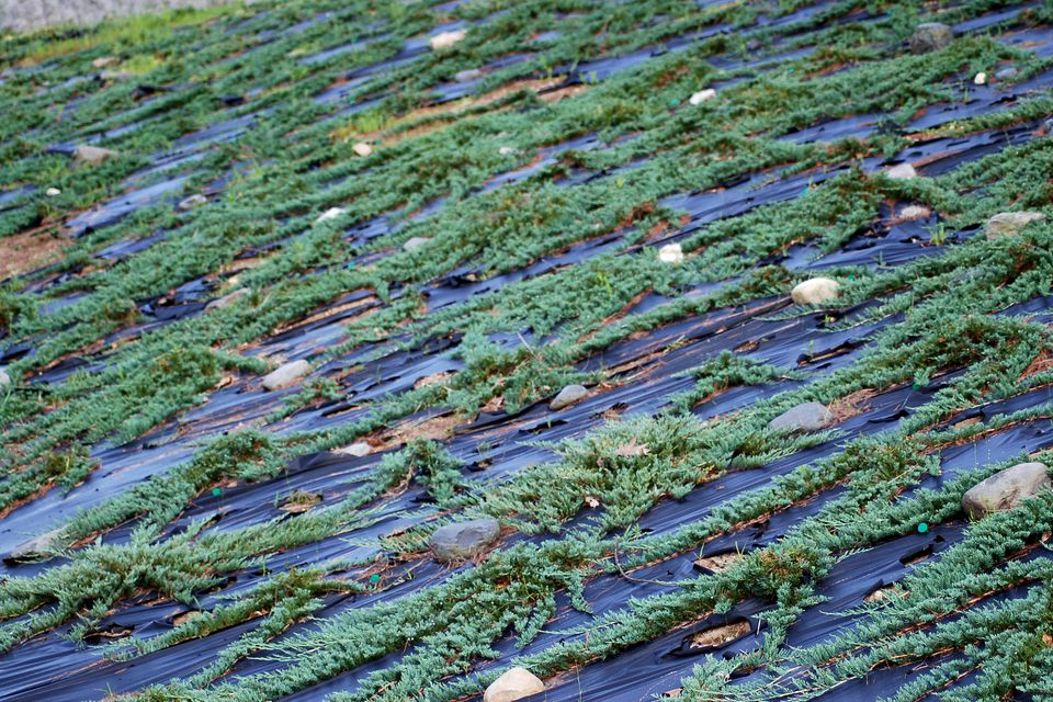 Blue rug juniper plants growing tips and care guide for How long do carpets last
