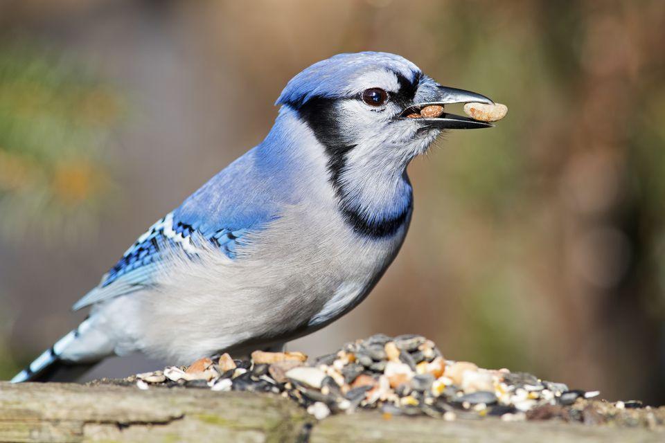 Blue jay eating peanuts