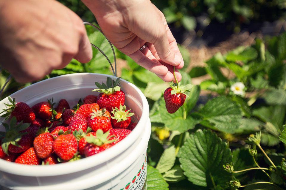 Harvesting Strawberries