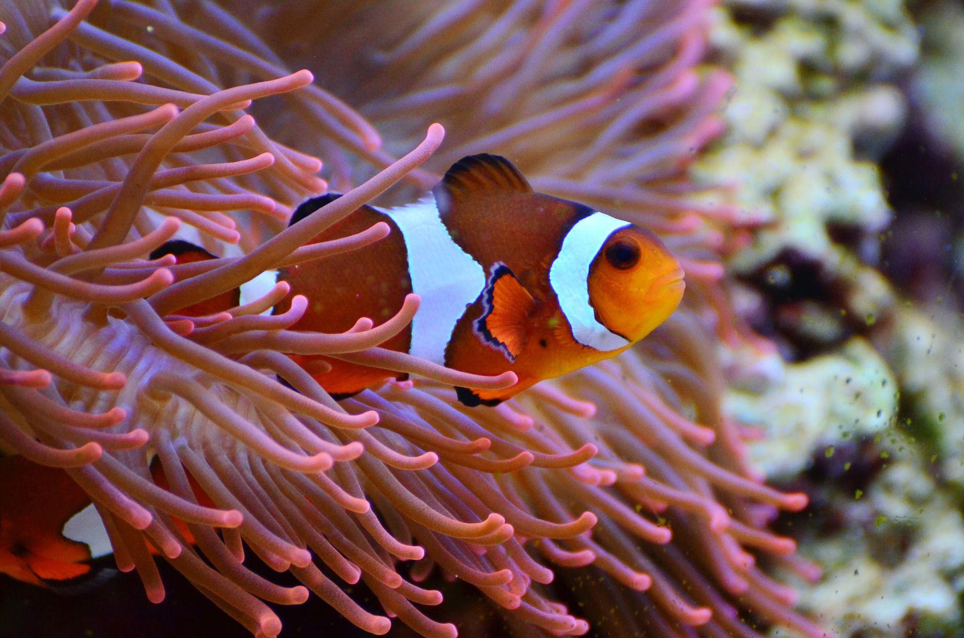 anemone-fish-1496866_1920-58fadacd5f9b581d5988b0f9 Frais De Aquarium Recifal Complet Concept