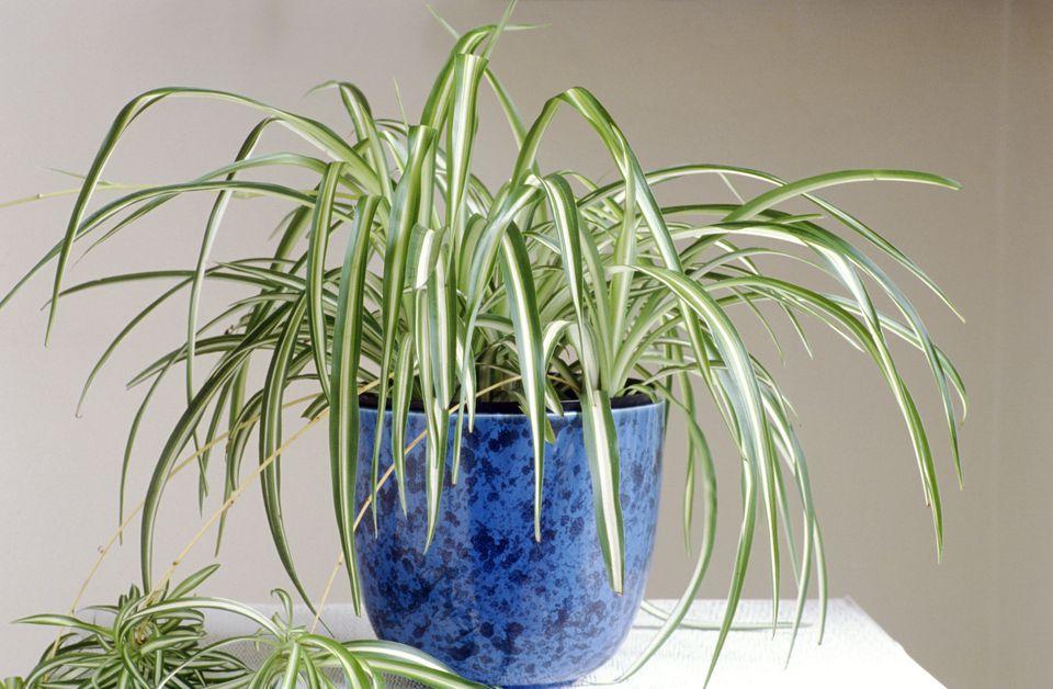 Spider Plant (Chlorophytum) in a blue pot