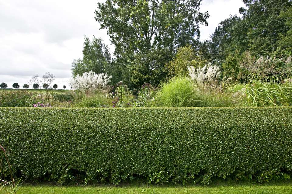 Privet hedge nicely trimmed with trees and ornamental grasses behind.