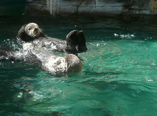 Adorable Sea Otters at the Seattle Aquarium   Angela M  Brown  2008 Fun Things to Do on the Downtown Seattle Waterfront. Restaurants Downtown Seattle Waterfront. Home Design Ideas