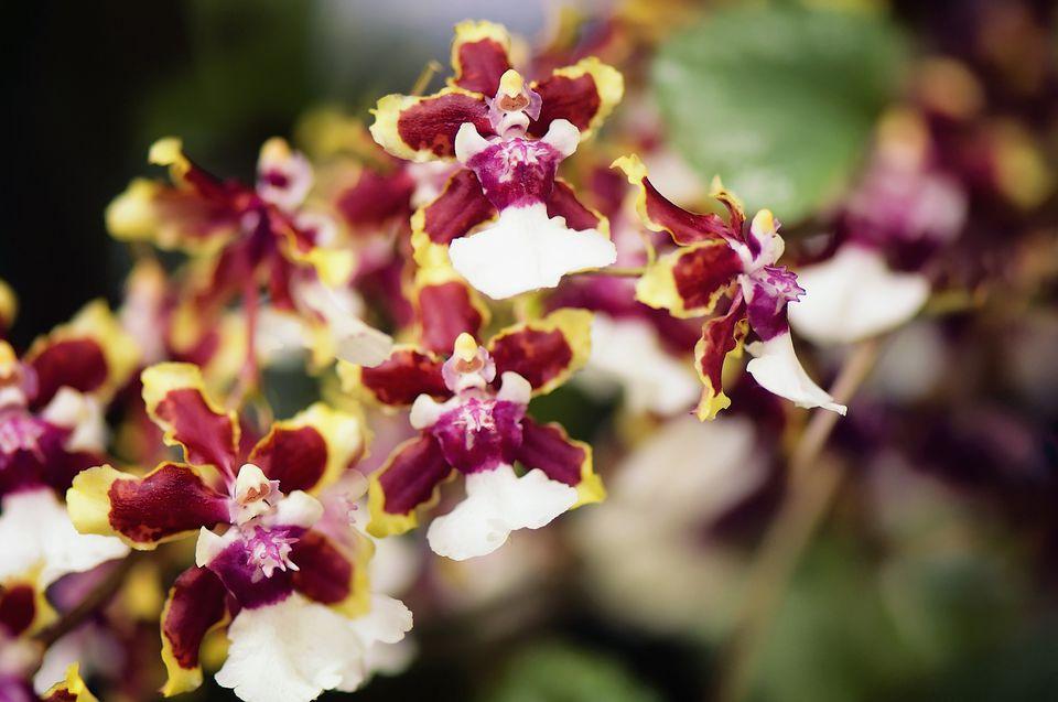 Oncidium Orchid Sharry Baby