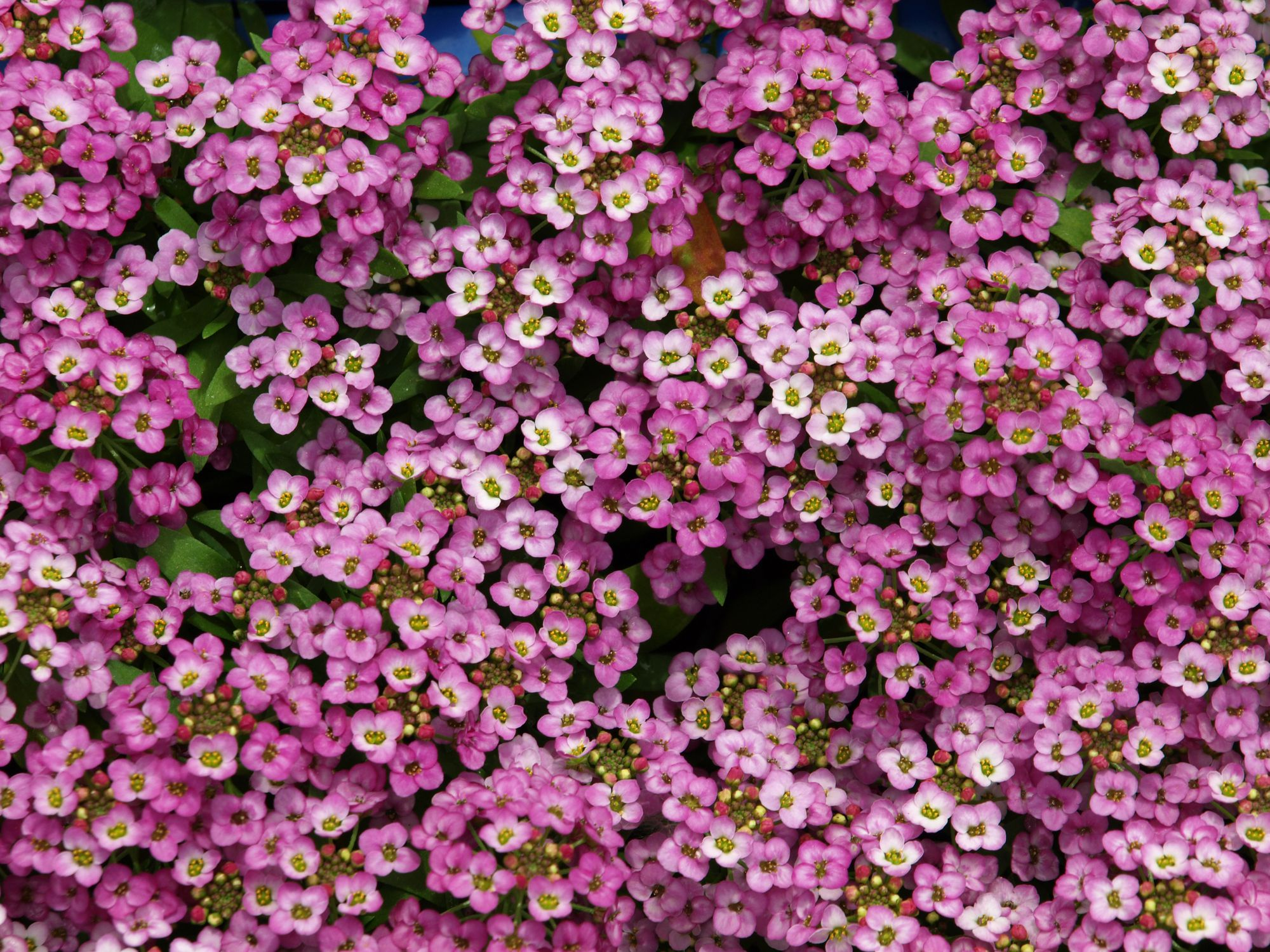Flower Home Decor Sweet Alyssum Plant Alyssum Flower