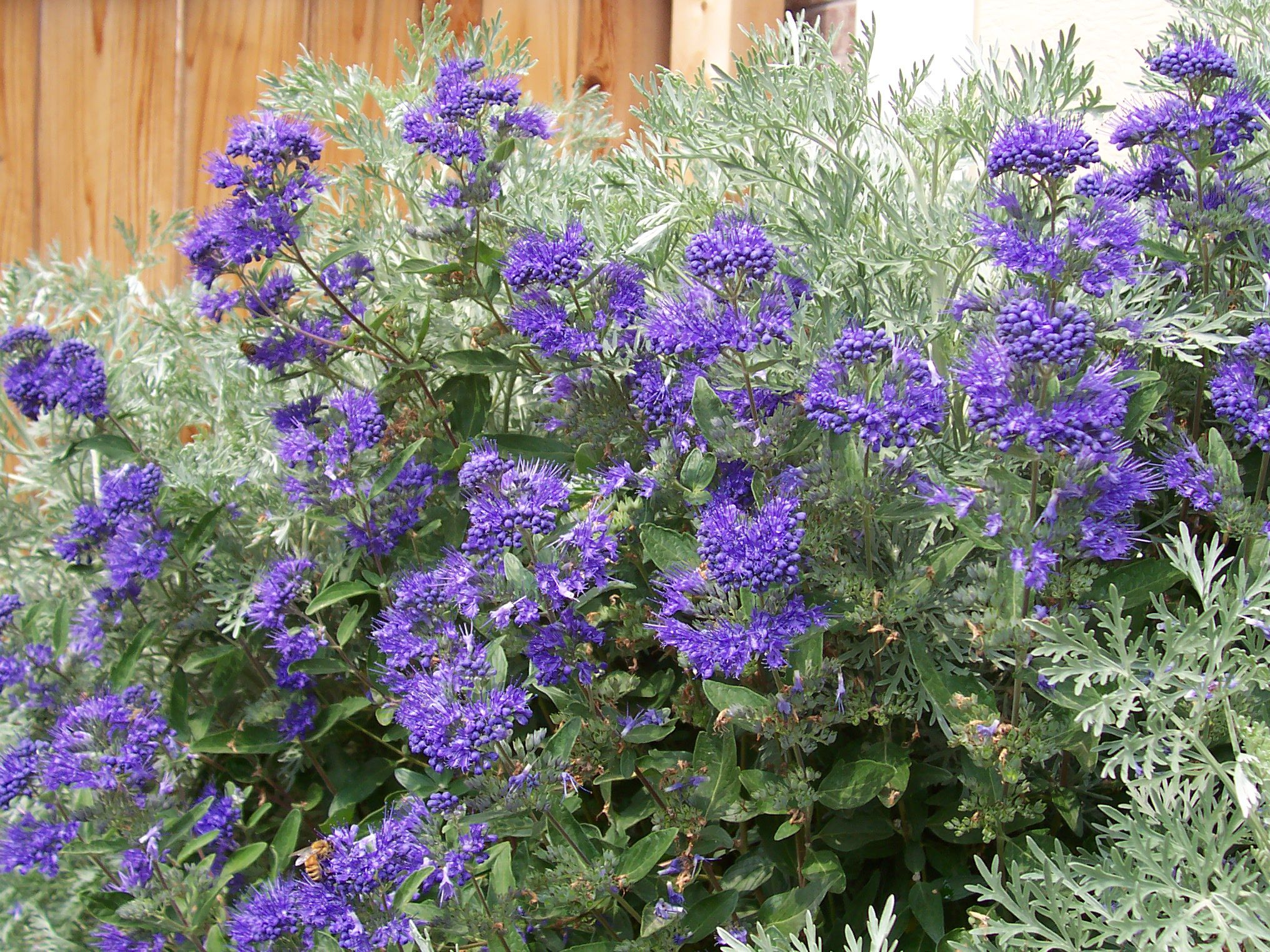 Pictures of flowering shrubs for landscaping ideas for Large bushes for landscaping
