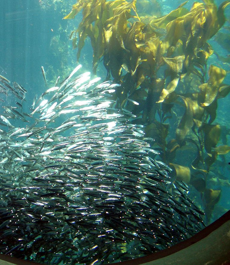School of Anchovy in Kelp Forest Monterey Bay Aquarium