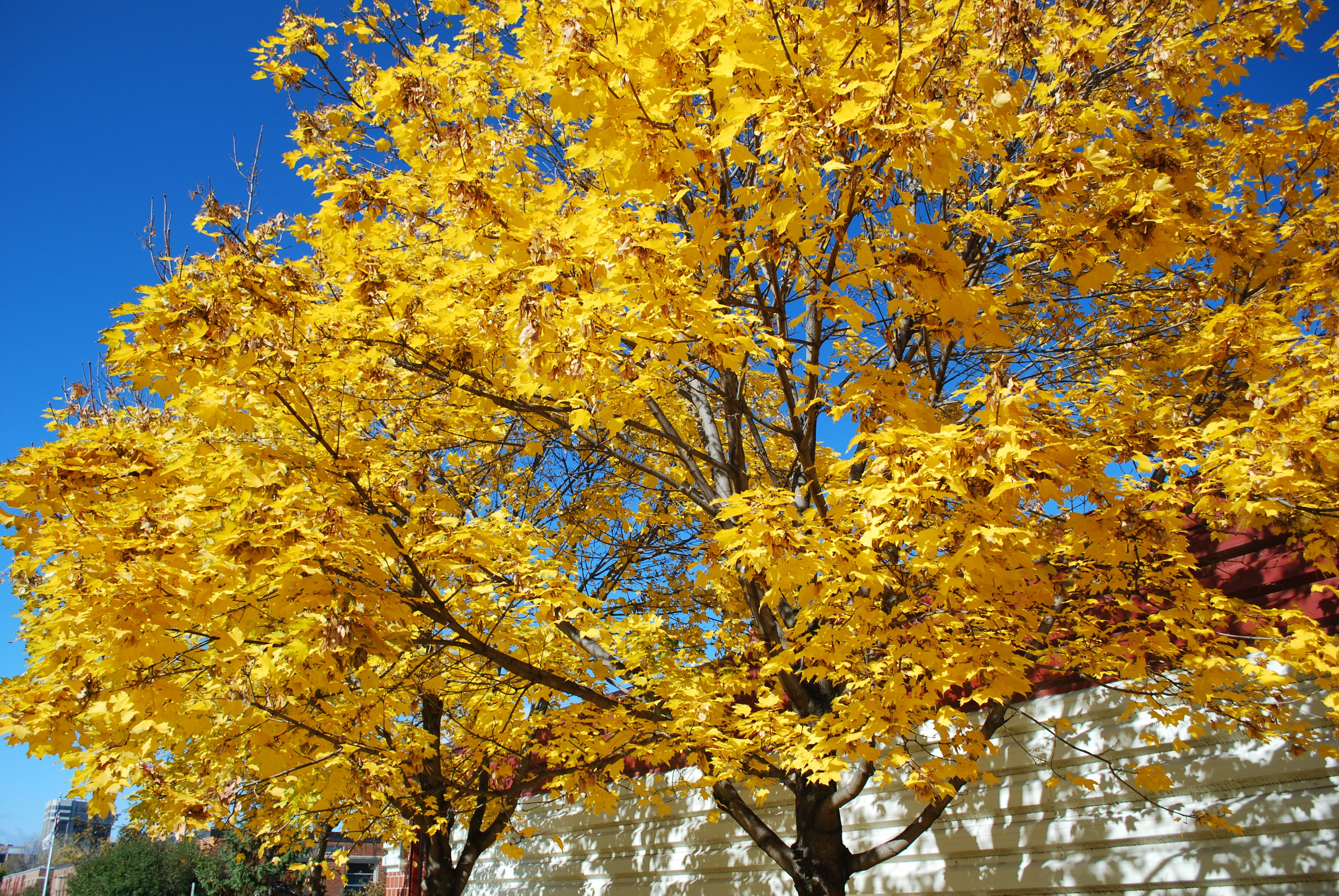 Get to know a variety of maple tree species sciox Choice Image