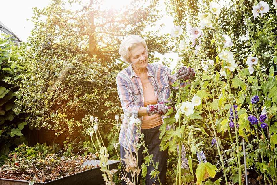 Woman pruning holly hocks flowers in garden.