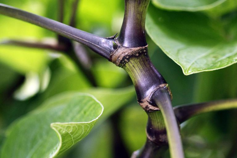 Hawaiian variety of 'Awa or kava kava, Piper methy