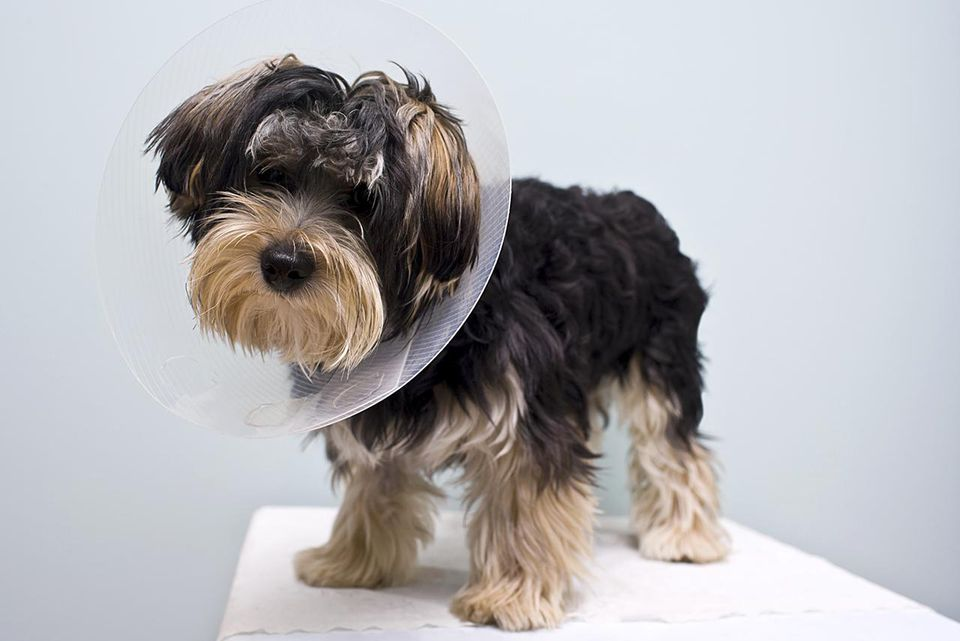 eight month old puppy with a cone on his neck protecting him from licking the area where he was neutered