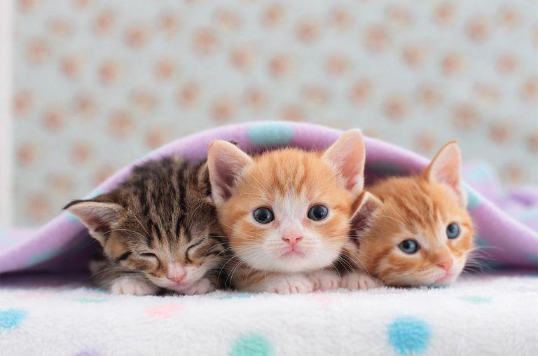 Munchkin pets